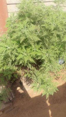 Artemisia-Herb